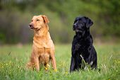 Two Labrador Retriever Dogs, Yellow And Black, Sit Obediently On The Grass poster