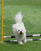 Bichon Jumping