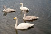 Swans Gorgeous On Grey Water Surface. Animals Natural Environment. Waterfowl With Offspring Floating poster