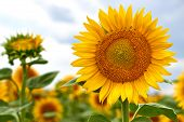 Sunflowers Field On Sky Background. Bright Yellow, Orange Sunflower Flower On Field. Beautiful Rural poster