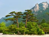famous pair pines - symbol of Seoraksan National Park, South korea