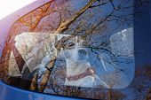 Cut Dog Puppy Jack Russell Terrier Left Alone In Locked Car. Heatstroke Dog Animal Concept poster