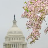 Capitol Building dome and blooming trees in Spring, Washington DC USA