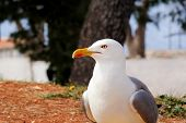 Seagull Close Shot And Resting On Dock. Seagull Standing On The Grass And Rest With A Beautiful Natu poster