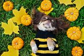 Chihuahua Dog In A Sweater Lying Down With Fallen Leaves And Small Pumpkins poster