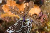 Lined Nembrotha Nudibranch Gills
