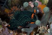 Dusky Nembrotha Nudibranch Feeding