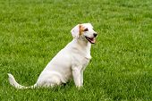 White Cute Non-pedigree Dog Sitting On The Green Grass poster