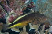 picture of hawkfish  - Freckled Hawkfish  - JPG