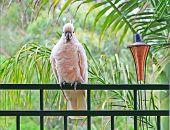 Cockatoo Waiting To Be Fed On My Veranda Balustrade. Australia. poster