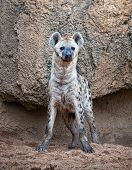 A spotted hyena, warily watching to camera