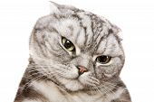 beautiful british shorthair cat