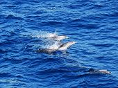 Pod of Atlantic Spotted Dolphins