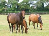 Thoroughbred Mares And Foals