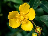 Yellow St. Johns Wort Flowers In A Japanese Forest 2 poster