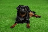 Adorable Black Petit Brabancon Dog Lying On Green Grass poster