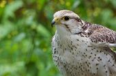 Captive Saker Falcon Pictured Against A Leafy Background, The Raptors, Duncan, British Columbia poster