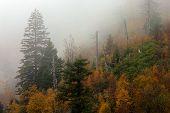 FallTrees In  Fog