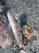 Flagtail Shrimpgoby with Randall's Snapping Shrimp