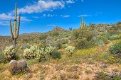 foto of ocotillo  - Blooming Sonoran Desert with Saguaros - JPG
