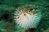 stock photo of spike  - Blowfish or puffer fish underwater in ocean - JPG