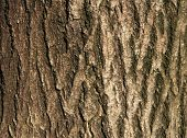 Bark Of Trees