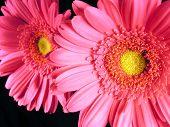Pink Gerber Daisies Close