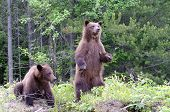 stock photo of grizzly bears  - two young grizzly bears one standing and checking us out - JPG