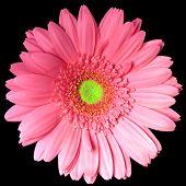 Single Pink Gerber Daisy Square