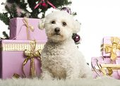 Bichon Fris�?�?�?�© sitting in front of Christmas decorations against white background