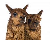 Close-up of Two Alpacas looking away and smiling against white background