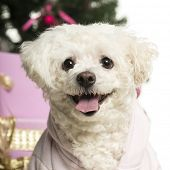 Bichon Fris�?�?�?�© in front of Christmas decorations against white background