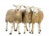 Three Sheep against white background