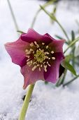 stock photo of helleborus  - Hellebore  - JPG