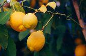 Lemons In A Tree