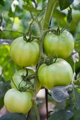 Green Tomatoes Grown On A Vine