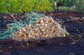 Onions Harvesting