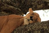 stock photo of lioness  - Lioness  - JPG