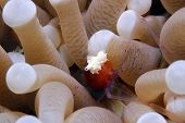 Mushroom Coral Ghost Shrimp/Popcorn Shrimp
