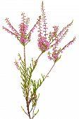 Calluna Vulgaris Flower