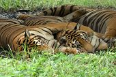 Tiger sitting in grass