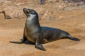 picture of sea lion  - Highly detailed image of Sea lion Galapagos islands Ecuador - JPG