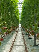 image of hydroponics  - Hydroponically grown Tomatoes growing inside a hothouse - JPG