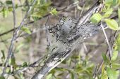 picture of cocoon tree  - Eastern Tent Caterpillar