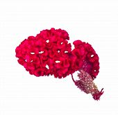 stock photo of cockscomb  - Red cockscomb flower isolated on white background - JPG