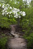 Dogwood Tree Along A Wooded Arkansas Trail