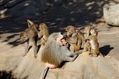 Baboon Monkeys Cleaning Each Other