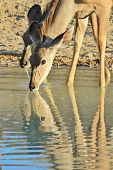 Kudu - Wildlife Background from Africa - Ripples of Color