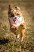 image of lifting-off  - A Little puppy running wild through the grass and thereby lifts almost off and has his mouth open - JPG