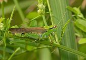 Green Locust On A Grass Leaf